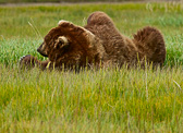 Grizzly bear laying in the grass
