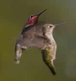 Watch where you are going; two humming birds